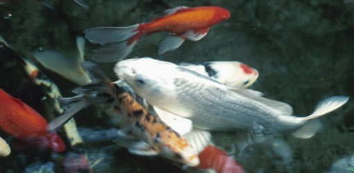 How To Keep Koi Fish In A Pond During Freezing Weather Today S Homeowner