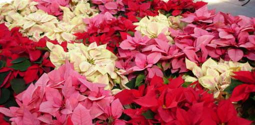 How To Grow Poinsettias Year Round Today S Homeowner