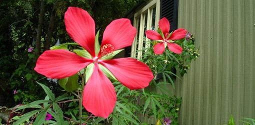 How To Grow Swamp Hibiscus Today S Homeowner