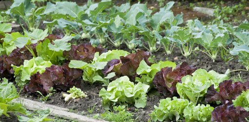 How To Control Three Common Vegetable Garden Pests Today