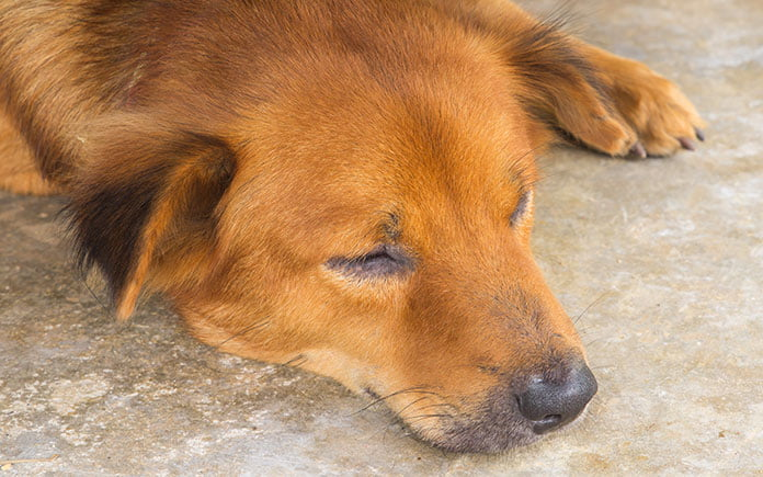 Lethargic dog lies down with his eyes closed
