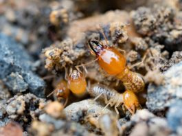 Formosan termite, foraging through wood and dirt