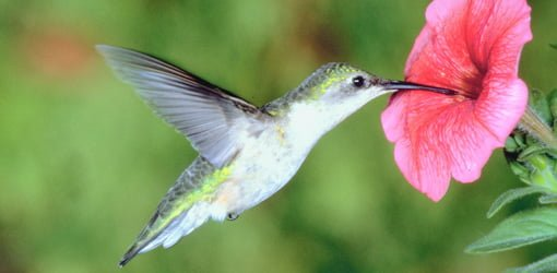 Hummingbird feeding on flower in a backyard garden.