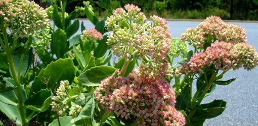 Flowering sedum plant.