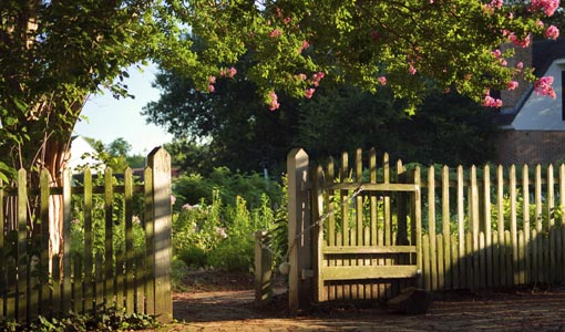 Blooming crape myrtles with wooden fence leading to garden.