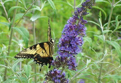 Swallowtail butterfly on blue butterfly bush flower.
