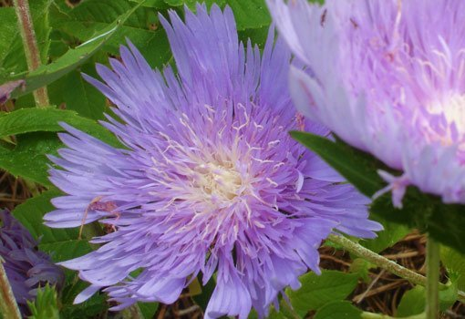Bluish purple stokes aster flowers