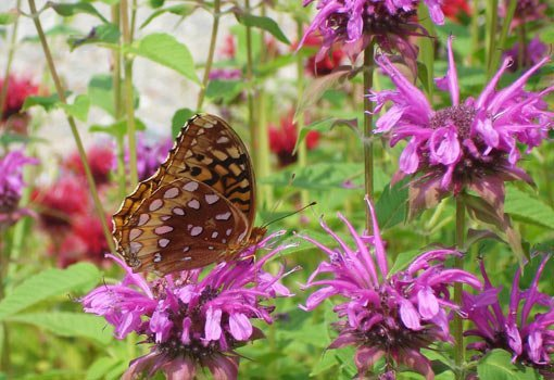Bee balm flowers with butterfly.