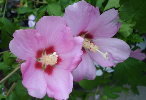 Pinkish red rose of Sharon flowers.