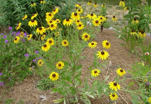 Yellow black-eyed Susan flowers.