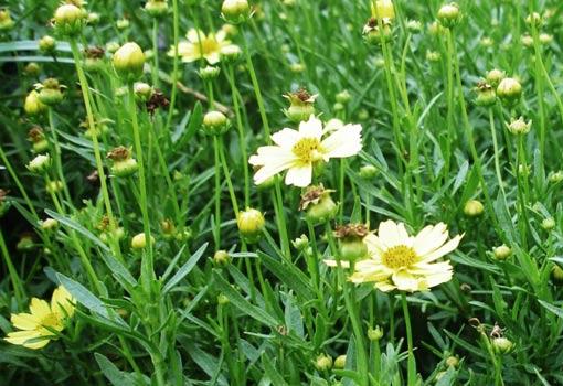 Yellow coreopsis flowers.