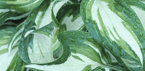 Hosta leaves.