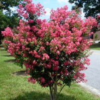Crape myrtle in bloom