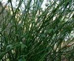 Scotch broom shrub