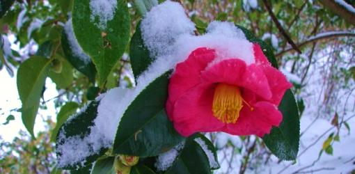 Camellia blooming in snow.