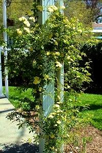 Lady Banks rose growing up porch column.