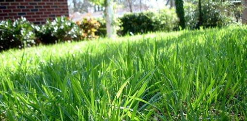 Centipede grass lawn.