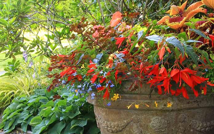 Begonias in flowerpots