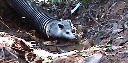 Possum in drain pipe.