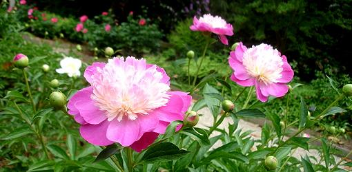 Peonies blooming
