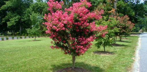 How To Plant Balled And Burlapped Trees And Shrubs Today