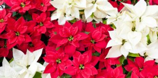 White, red and pink poinsettias