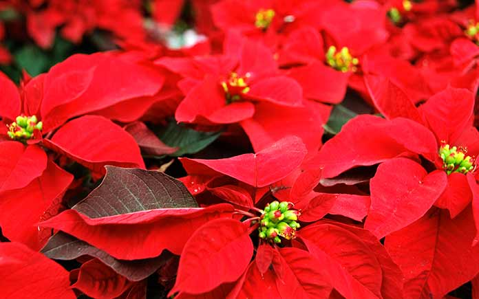 How To Care For Poinsettias Year Round