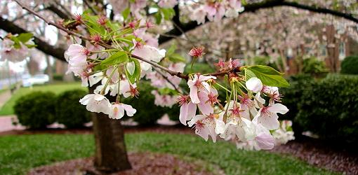 Pink and white flowers on tree