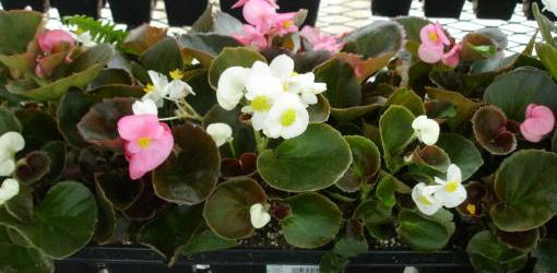 How To Grow Different Varieties Of Begonias Today S Homeowner