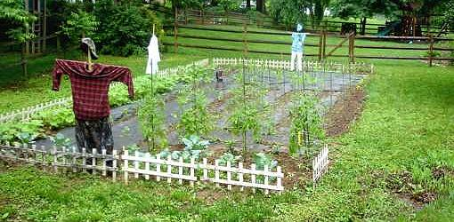 Vegetable garden with scarecrow.