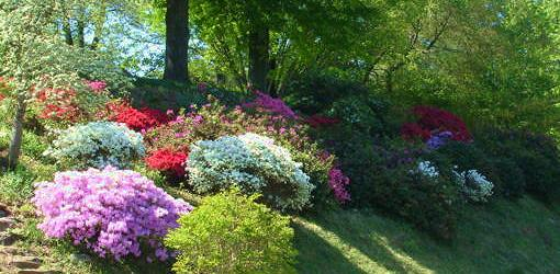 How To Grow Azaleas Today S Homeowner