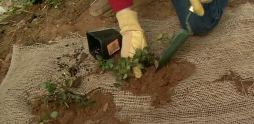 Planting groundcover in holes in burlap to prevent erosion.