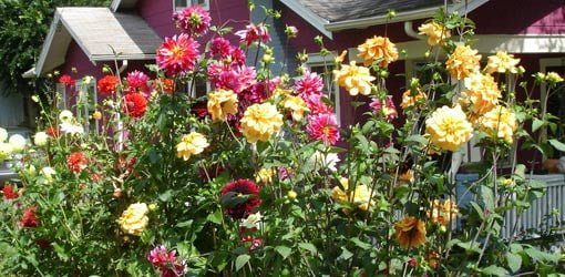 A garden full of dahlia blooms.