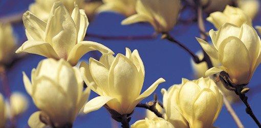 Star magnolia blooms