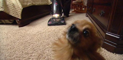 Dog with vacuum cleaner in home