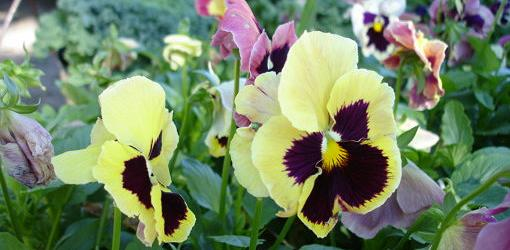 Pansy flowers blooming.