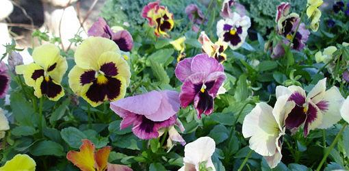 assorted pansies