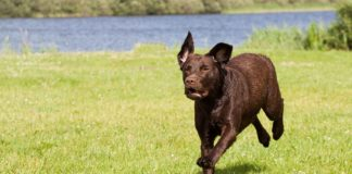 Dog running on open property with a lake nearby