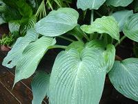 'Sum and Substance' variety of hosta plant