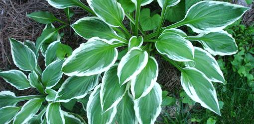 Colorful hosta plant leaves.