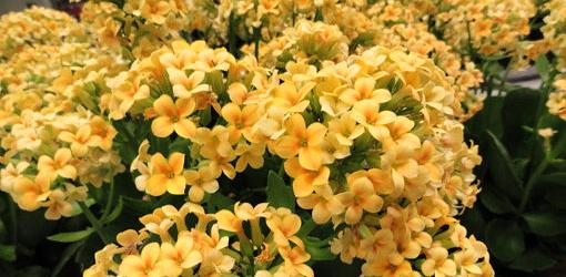 How To Grow Flowering Kalanchoe Today S Homeowner