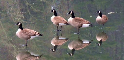 Geese standing on frozen pond