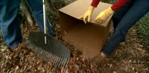 Using cardboard box to gather leaves