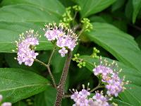 Spring flowers on beautyberry plant