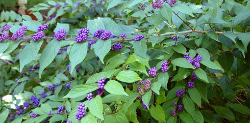 Beautyberry plant with green leaves and purple berries