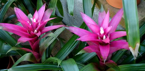 Purple bromeliad flowers