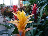 Yellow bromeliad flower