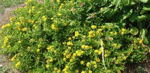 Lantana Blooming