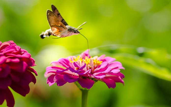 Hummingbird moth feeds on a pink flower's nectar