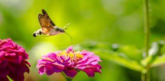 Hummingbird moth feeds on a pink flower's nectar